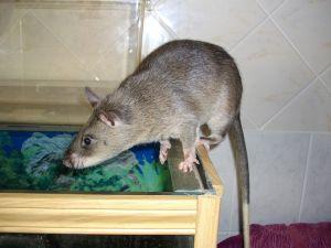 Ratas Gigantes de Nueva York
