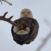 An-Eagle-from-below