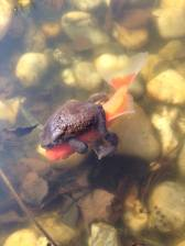 11-frog goldfish