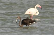 15-flamingo