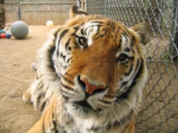 03 - tigre